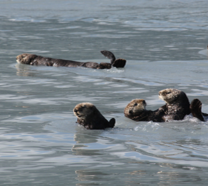 Rafts of Sea Otters Were Comic Relief on our 10-hour Cruise