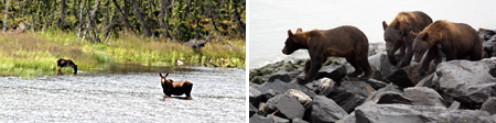 Mama Moose and youngster & Mama Bear teaches three offspring the art of salmon fishing
