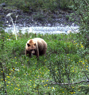 Grizzlies are best when far away