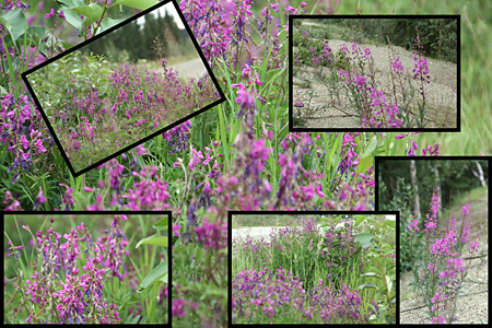 Fireweed All Along the Klondike Highway