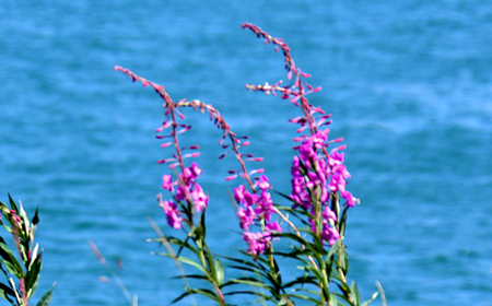 Fireweed Aside the Yukon River