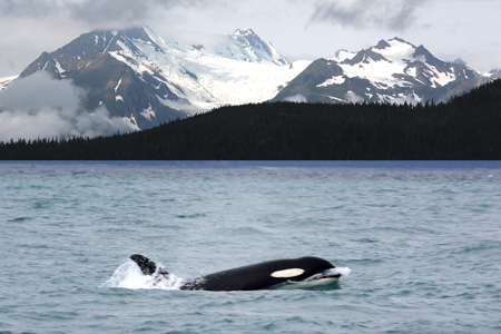 "An Orca (""Killer Whale"") comes alongside as we cruised to Juneau"