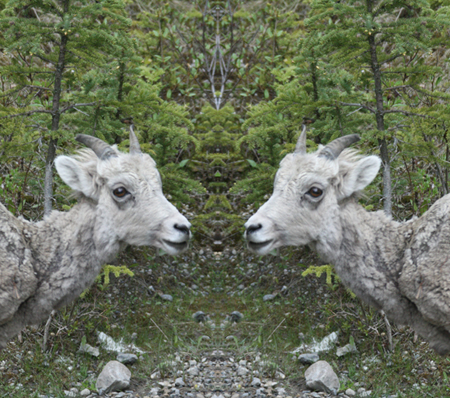 "Juvenile Bighorn Sheep: Is ""Sheep"" Singular or Plural?  (Yes, it's a photo effect)"
