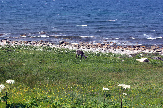 Quietly enjoying the grassy hillside along the Gulf of Cabot was a lone caribou.