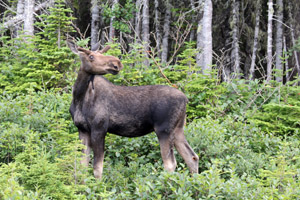 A young bull moose poses for us.