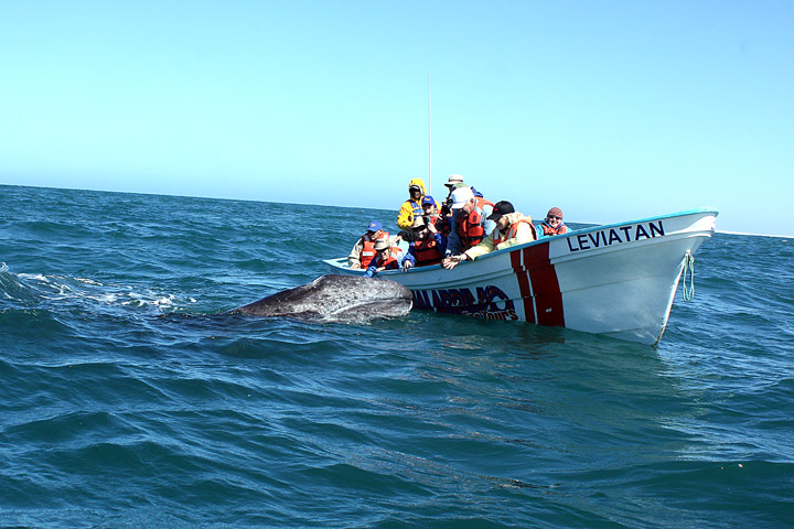 Members of the Fantasy Tours caravan celebrated  their chance to pet the grey whale calf hoisted to the boat by Mama.