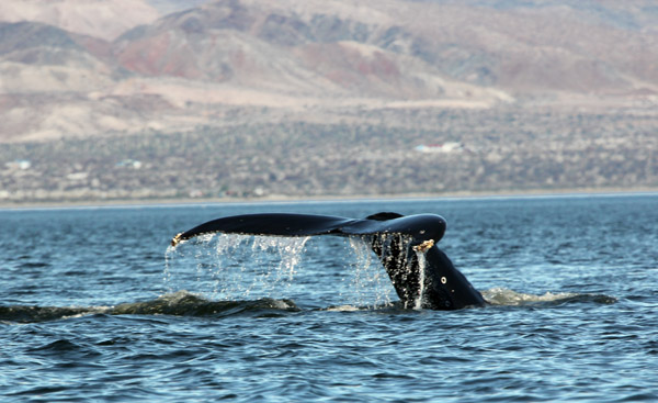 "The tail or ""fluke"" of a Finwhale thrills our crew in Bahia de los Angeles on the Sea of Cortez"
